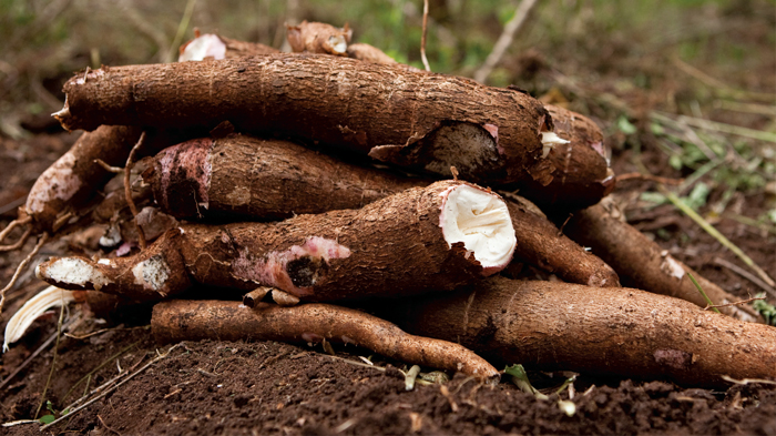 Cassava beer from SP Brewery could benefit PNG's farmers – Pacific Beat – ABC News (Australian Broadcasting Corporation)