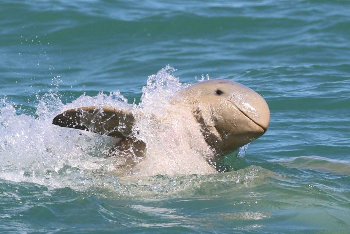 Rare Australian dolphins discovered in PNG river system